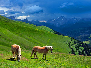 RF - Haflinger horses in Seiser Alm Dolomites plateau, South Tyrol, Italy. (This image may be licensed either as rights managed or royalty free.)  -  Ernie  Janes