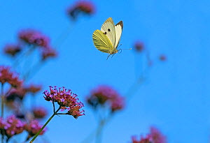 RF - Large white butterfly (Pieris brassicae) feeding on Verbena flowers in garden (This image may be licensed either as rights managed or royalty free.) - Ernie  Janes