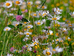 RF - Ox-eye daisies (Leucanthemum vulgare) and Red clover (Trifolium pratense) in Alpine meadow, Dolomites, Italy, July. (This image may be licensed either as rights managed or royalty free.)  -  Ernie  Janes