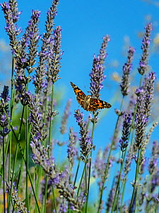 RF - Painted lady butterfly (Cynthia cardui) flying to feed on lavender flowers in garden. (This image may be licensed either as rights managed or royalty free.) - Ernie  Janes