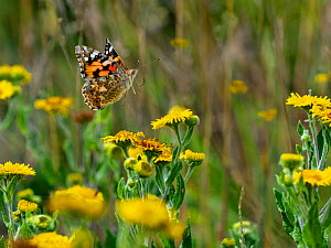 RF - Painted lady butterfly (Cynthia cardui) feeding on Fleabane (This image may be licensed either as rights managed or royalty free.) - Ernie  Janes