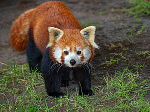 RF - Red panda (Ailurus fulgens) portrait, captive. (This image may be licensed either as rights managed or royalty free.)  -  Ernie  Janes