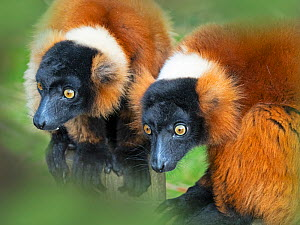 RF - Red-ruffed lemur (Varecia rubra) portrait of two captive, occurs in Madagascar. (This image may be licensed either as rights managed or royalty free.) - Ernie  Janes