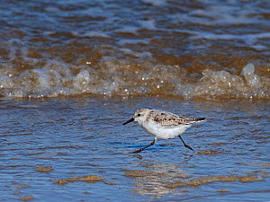 RF - Sanderling (Calidris alba) running along the tideline, Norfolk, UK. (This image may be licensed either as rights managed or royalty free.)  -  Ernie  Janes