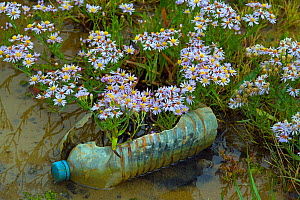 RF - Discarded plastic bottle amongst Sea asters (Aster tripolium) in saltmarsh, Norfolk, England, UK. (This image may be licensed either as rights managed or royalty free.)  -  Ernie  Janes