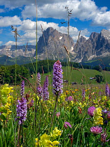 RF - Seiser Alm Dolomites plateau, Alpine meadow with orchids and yellow rattle, South Tyrol, Italy. (This image may be licensed either as rights managed or royalty free.) - Ernie  Janes