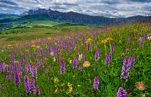RF - Seiser Alm Dolomites plateau, Alpine meadow with flowering orchids, South Tyrol, Italy. (This image may be licensed either as rights managed or royalty free.)  -  Ernie  Janes