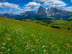 RF - Seiser Alm Dolomites plateau, alpine meadow, South Tyrol, Italy. (This image may be licensed either as rights managed or royalty free.)  -  Ernie  Janes