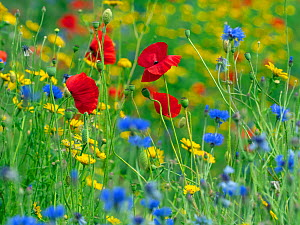 RF - Corn Marigold (Glebionis segetum), with Cornflower (Centaurea cyanus) and Poppy (Papaver rhoeas) in hay meadow (This image may be licensed either as rights managed or royalty free.)  -  Ernie  Janes