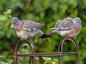 Wood pigeon (Columba palumbus) pair on rose trellis after rain shower, Norfolk, UK. August. (This image may be licensed either as rights managed or royalty free.)  -  Ernie  Janes