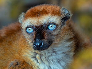 RF - Blue-eyed black lemur (Eulemur flavifrons) female, portrait. Captive. (This image may be licensed either as rights managed or royalty free.)  -  Ernie  Janes