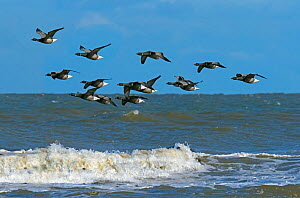 RF - Brent geese (Branta bernicla) flock in flight over the north sea at Titchwell RSPB Reserve, Norfolk, UK. (This image may be licensed either as rights managed or royalty free.)  -  Ernie  Janes