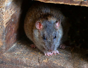 RF - Brown rat (Rattus norvegicus) in farm building (This image may be licensed either as rights managed or royalty free.) - Ernie  Janes