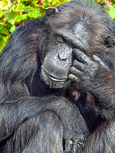 RF - Chimpanzee (Pan troglodytes) rubbing eyes, captive (This image may be licensed either as rights managed or royalty free.)  -  Ernie  Janes