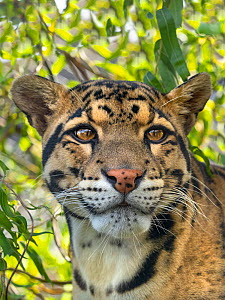 RF - Clouded leopard (Neofelis nebulosa) portrait, captive. (This image may be licensed either as rights managed or royalty free.)  -  Ernie  Janes