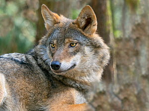 RF - Grey wolf (Canis lupus) portrait, Captive. (This image may be licensed either as rights managed or royalty free.)  -  Ernie  Janes