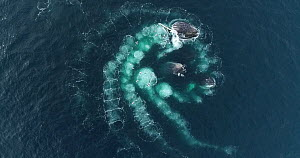 Drone shot of five Humpback whales (Megaptera novaeangliae) bubble-net feeding, cooperatively hunting Krill (Euphausiidae), Antarctic peninsula.  -  Richard Sidey