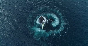 Drone shot of four Humpback whales (Megaptera novaeangliae) bubble-net feeding, cooperatively hunting Krill (Euphausiidae), Antarctic peninsula.  -  Richard Sidey