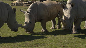 Slow motion shot of two juveniile White lipped rhinoceroses (Ceratotherium simum) play fighting, with an adult walking nearby, Cotswold Wildlife Park Zoo, UK, 2019. Captive, native to southern Africa.  -  Laurie Hedges
