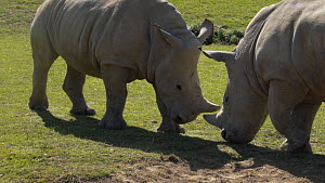 Slow motion shot of two juveniile White rhinoceroses (Ceratotherium simum) play fighting, with an adult walking nearby, Cotswold Wildlife Park Zoo, UK, 2019. Captive, native to southern Africa.  -  Laurie Hedges