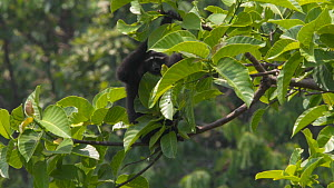 Slow motion shot of a Hoolock gibbon (Hoolock hoolock) moving in canopy, Myanmar, 2019. Endangered.  -  Laurie Hedges