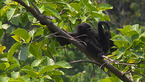 Slow motion clipof a Hoolock gibbon (Hoolock hoolock) moving in canopy, Myanmar, 2019. Endangered.  -  Laurie Hedges