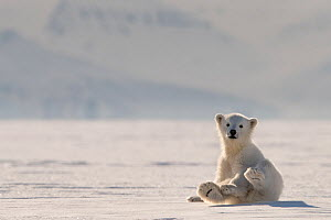 Polar bear (Ursus maritimus) cub on ice, Svalbard, Norway.  -  Philip Dalton