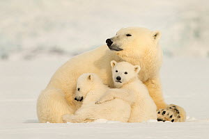 Polar bear (Ursus maritimus) female with two cubs, Svalbard, Norway.  -  Philip Dalton