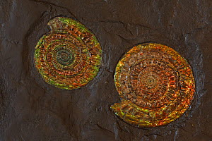 Fossil Ammonites (Coccosteus cuspidata) from the Mid-Devonian period, Caithness, Scotland  -  John Cancalosi