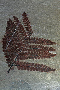 Fossil fern (Neurpteris ovata) from the Carboniferus period, New Mexico  -  John Cancalosi