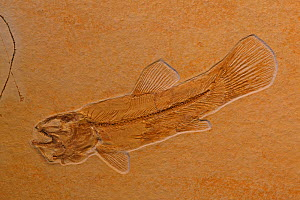 Fossil fish (Ameopsis lepidota) from the Upper Triassic period. Solnhofen, Germany  -  John Cancalosi