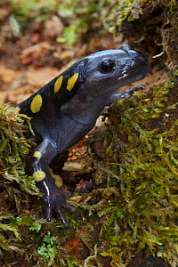 Spotted Salamander (Ambystoma maculatum) in early spring migration to woodland pond, New York, USA  -  John Cancalosi