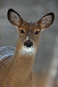 Portrait of White-tailed deer (Odocoileus virginianus) doe in snow, New York, USA  -  John Cancalosi