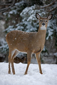 White-tailed deer (Odocoileus virginianus) doe standing in snow, New York, USA  -  John Cancalosi