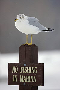 Ring-billed Gull (Larus delawarensis) perched on a 'No Fishing' sign, New York, USA  -  John Cancalosi