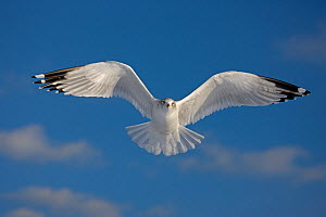 Ring-billed gull (Larus delawarensis), adult in flight, New York, USA  -  John Cancalosi