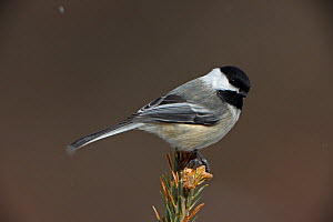 Black-capped chickadee (Poecile atricapilla) perched in snow, New York, USA  -  John Cancalosi