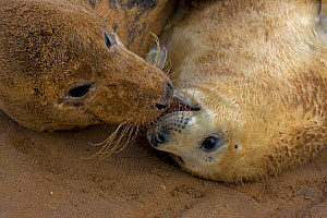 Grey seal (Halichoerus grypus), mother and young interacting on beach, UK  -  John Cancalosi