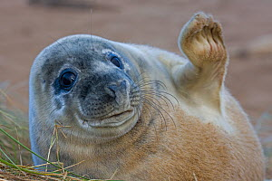 Grey seal (Halichoerus grypus) pup 'waving', UK  -  John Cancalosi
