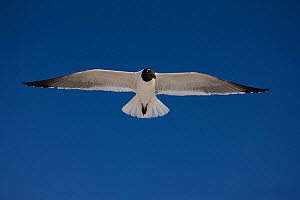 Laughing Gull (Larus atricilla) adult in breeding plumage in flight, coast of Gulf of Mexico, Mississippi, USA  -  John Cancalosi