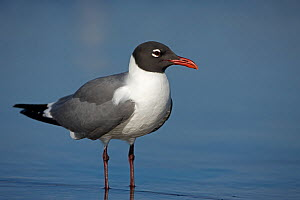 Laughing Gull (Larus atricilla) adult in breeding plumage, coast of Gulf of Mexico, Mississippi, USA  -  John Cancalosi