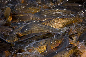 Carp (Cyprinus carpio) swimming up channel from canal in order to reach warm water lake, New York, USA. Native to Asia, introduced to US in 1880's as a food fish but proved detrimental to native f...  -  John Cancalosi
