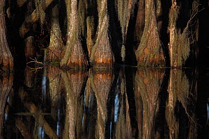 Bald Cypress Trees (Taxodium distichum) with reflection in swamp, Louisiana, USA  -  John Cancalosi