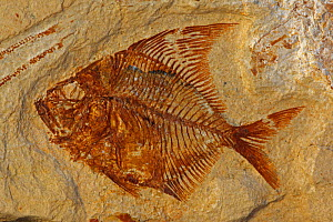Fossil fish (Aipichthys velifer) from the Cretaceous period, Lebanon  -  John Cancalosi