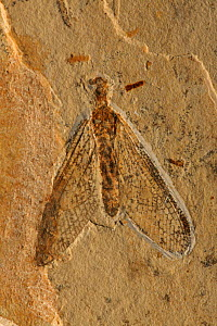 Fossil Lacewing (Planipennia) from the Early Cretaceous Period, Santana Formation, Brazil  -  John Cancalosi