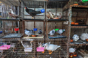 Various birds and rabbits in cages for sale at Chatuchak Market, Bangkok, Thailand. - Jo-Anne McArthur / We Animals