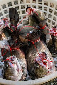 Basket of tethered fish for sale at a wet market in Taiwan. Fish are bound mouth to tail, which bends them unnaturally and causes bones and cartilage to break. Tethering is illegal in Taiwan, but wide... - Jo-Anne McArthur / We Animals