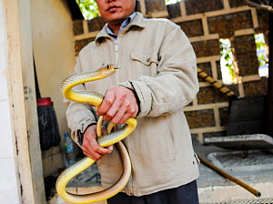 Market vendor holding live snake at Hanoi Market, Vietnam.  -  Jo-Anne McArthur / We Animals