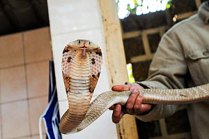 Market vendor holding a cobra at Hanoi Market, Vietnam.  -  Jo-Anne McArthur / We Animals