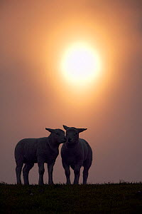 Texel lambs standing together at sunrise, Texel, Holland, May 2004  -  Guy Edwardes